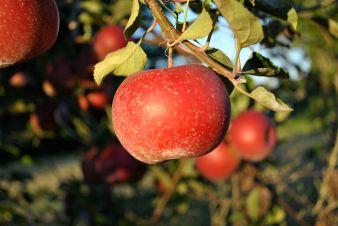 apple pic
