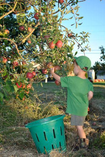 travis apple picking 2017